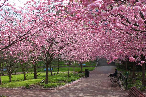 Cherry Tree 2ajijoaia - Conheça as cerejeiras do Parque do Carmo